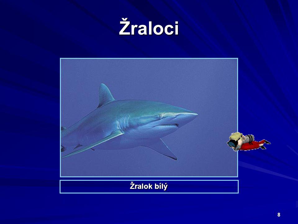 Žraloci Žralok bílý