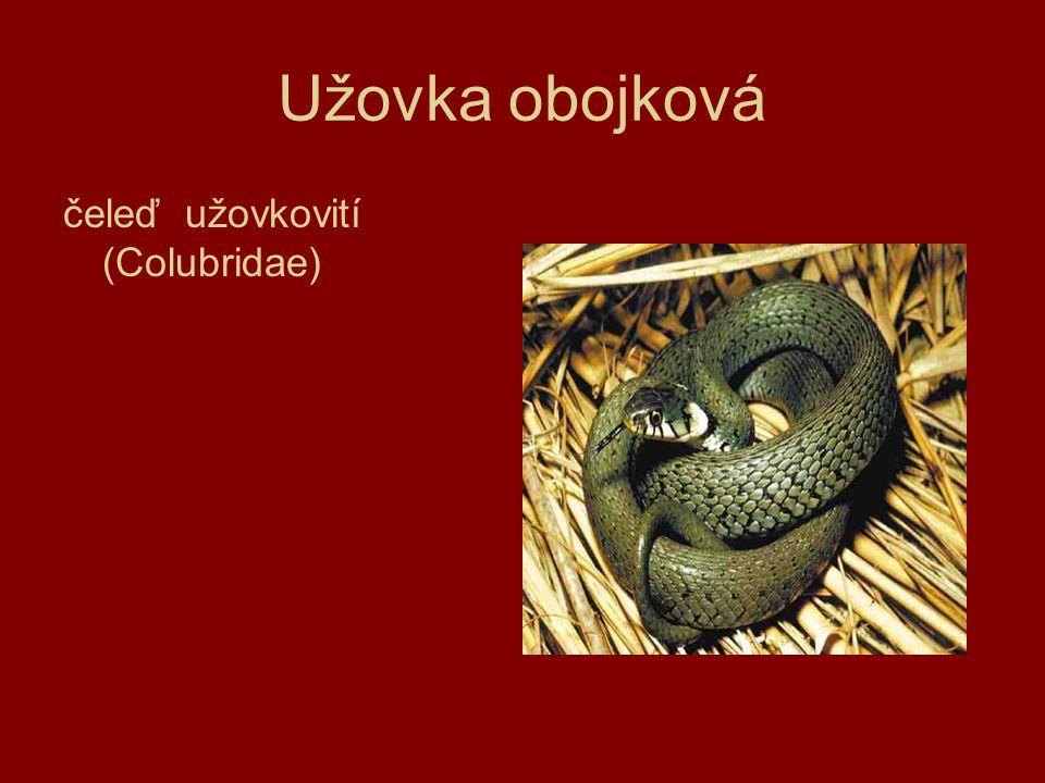 Užovka obojková čeleď užovkovití (Colubridae)