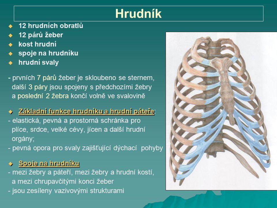 Hrudník 12 hrudních obratlů 12 párů žeber kost hrudní