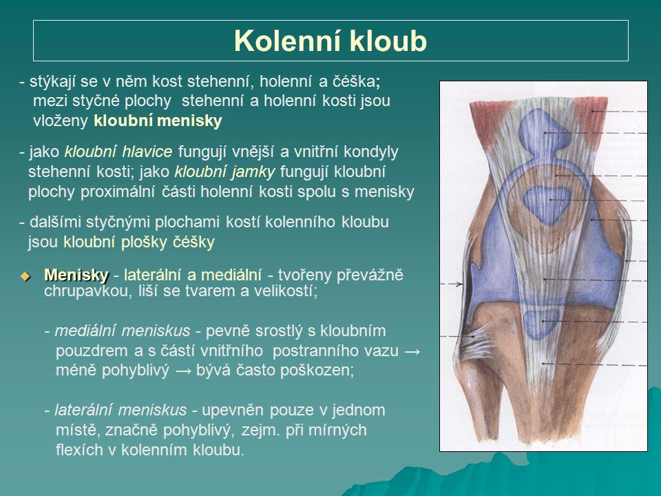 Kolenní kloub - stýkají se v něm kost stehenní, holenní a čéška;
