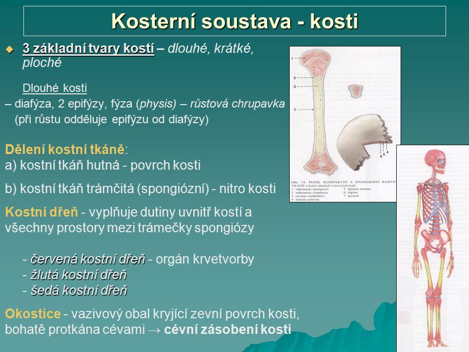 Kosterní soustava - kosti