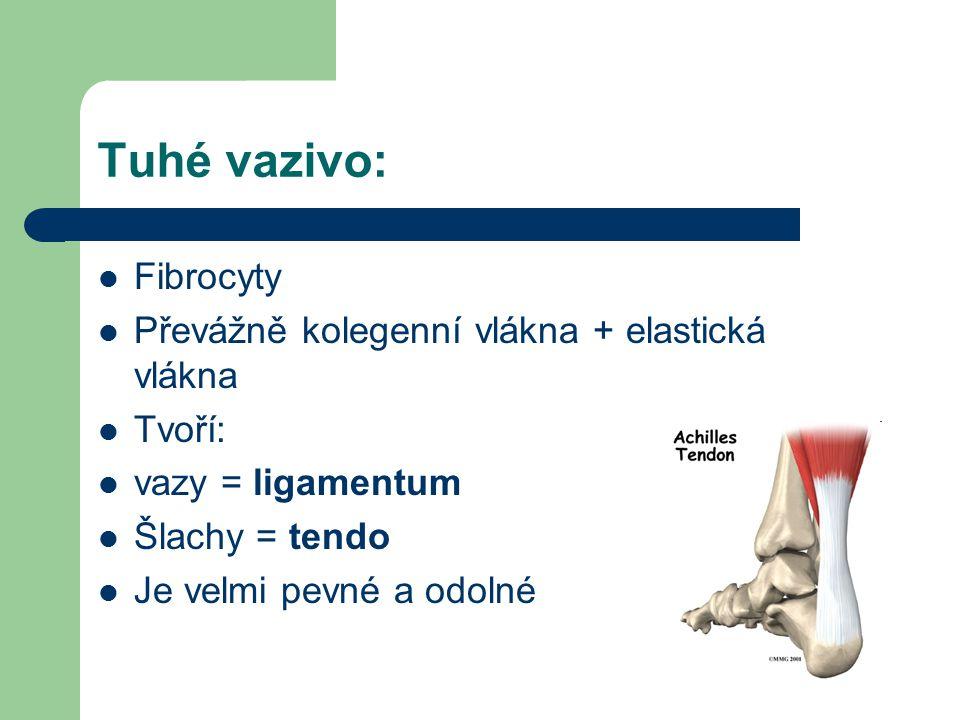 Tuhé vazivo: Fibrocyty Převážně kolegenní vlákna + elastická vlákna