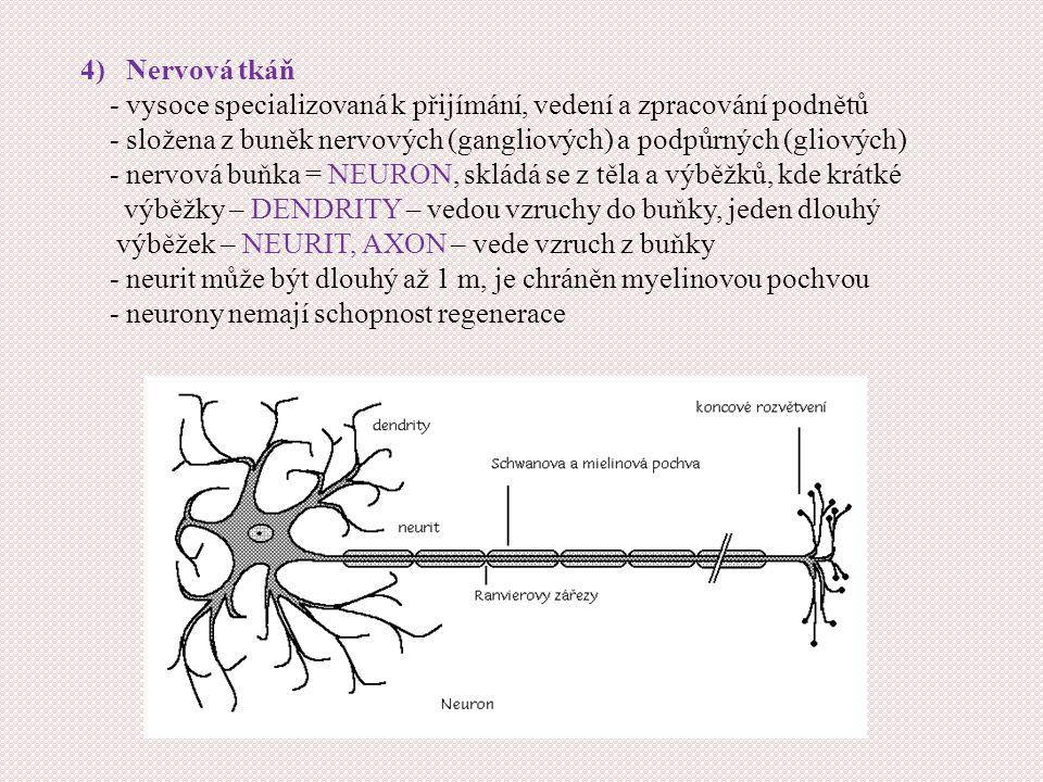 4) Nervová tkáň - vysoce specializovaná k přijímání, vedení a zpracování podnětů.