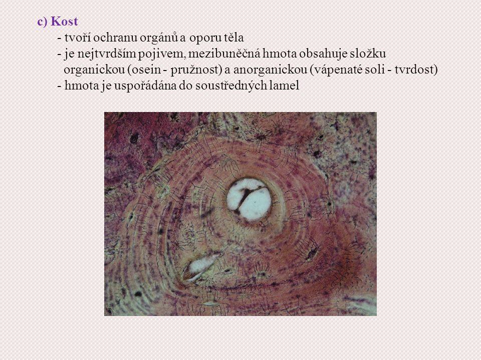 c) Kost - tvoří ochranu orgánů a oporu těla. - je nejtvrdším pojivem, mezibuněčná hmota obsahuje složku.