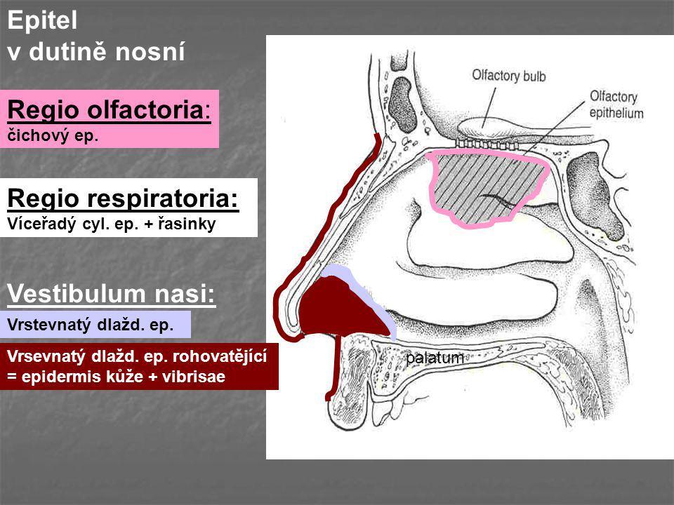 Epitel v dutině nosní Regio olfactoria: Regio respiratoria: