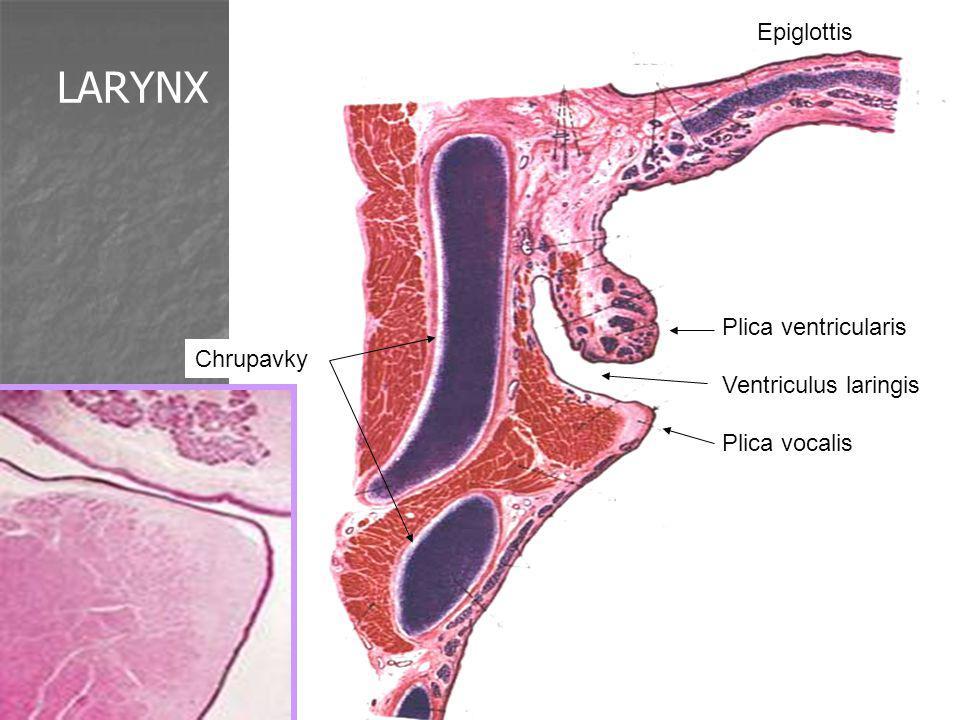 LARYNX Epiglottis Plica ventricularis Ventriculus laringis Chrupavky