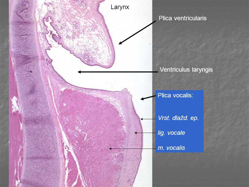 Larynx Plica ventricularis. Ventriculus laryngis.
