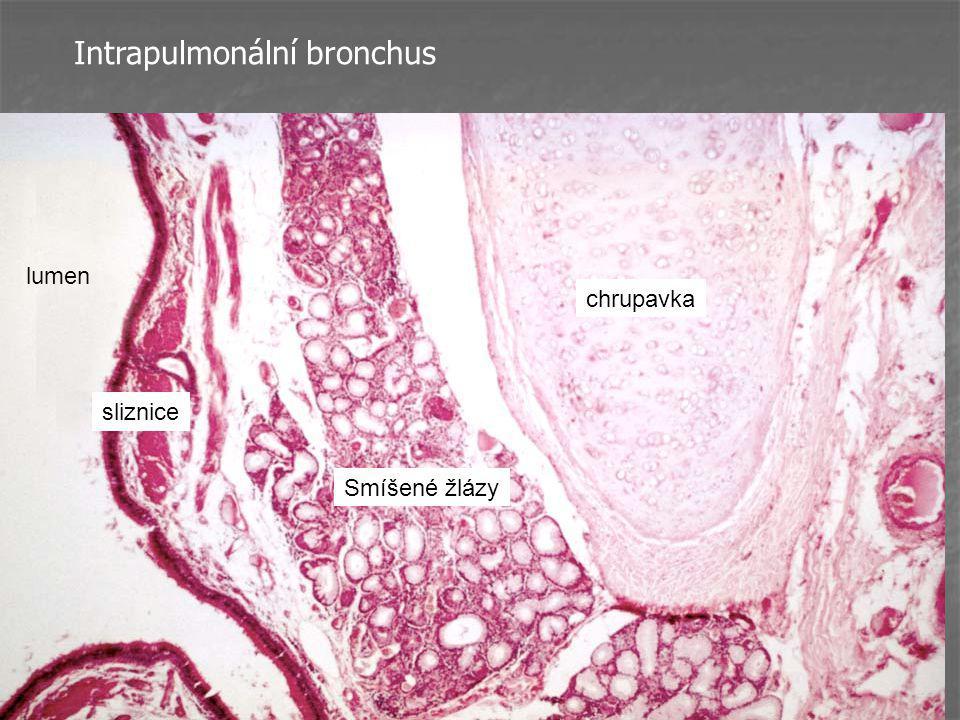 Intrapulmonální bronchus