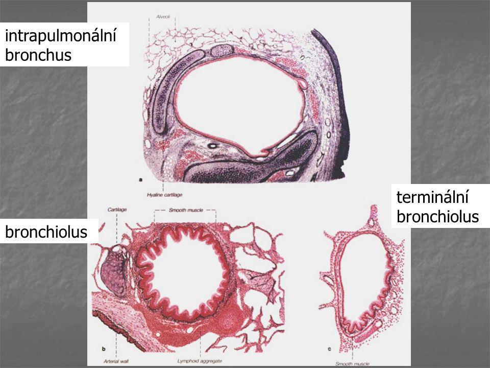 intrapulmonální bronchus terminální bronchiolus bronchiolus