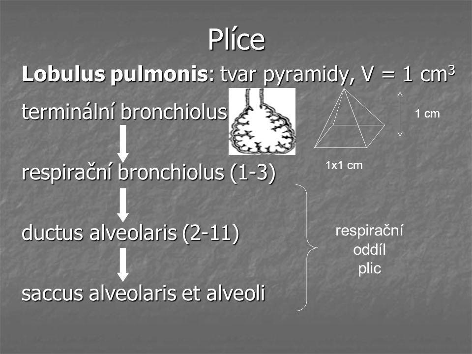Plíce Lobulus pulmonis: tvar pyramidy, V = 1 cm3