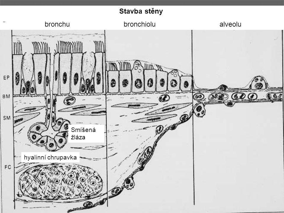 ¨ bronchu bronchiolu alveolu