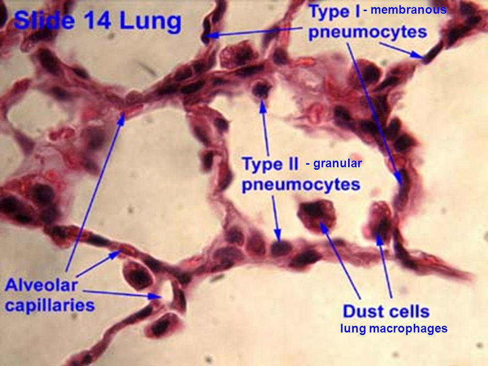 - membranous - granular lung macrophages