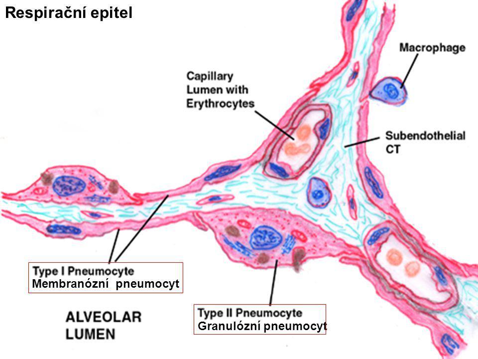 Respirační epitel Membranózní pneumocyt Granulózní pneumocyt