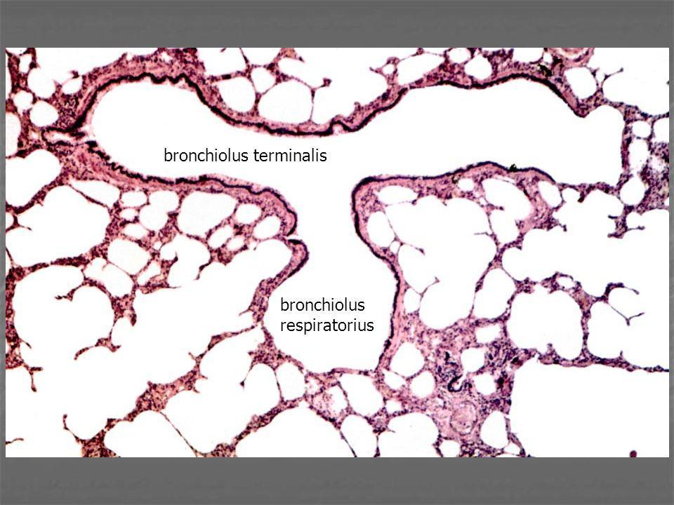 bronchiolus terminalis