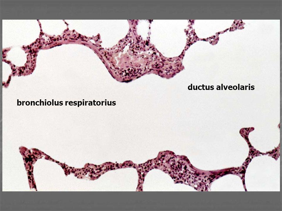 ductus alveolaris bronchiolus respiratorius