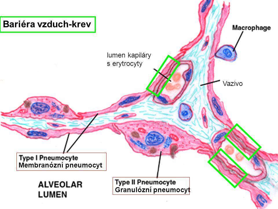 Bariéra vzduch-krev lumen kapiláry s erytrocyty Vazivo