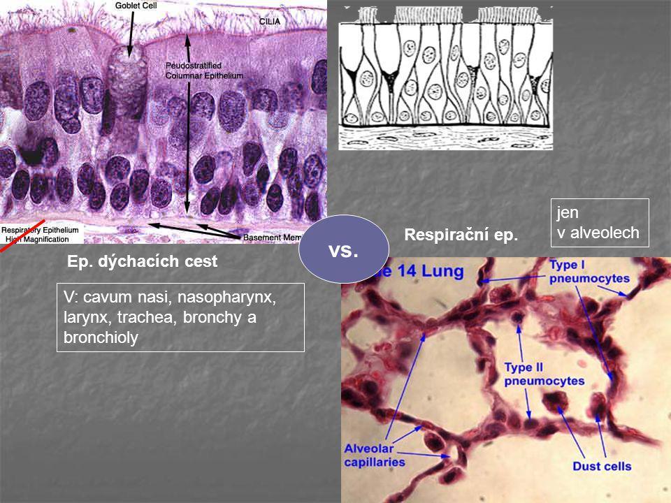 vs. jen v alveolech Respirační ep. Ep. dýchacích cest