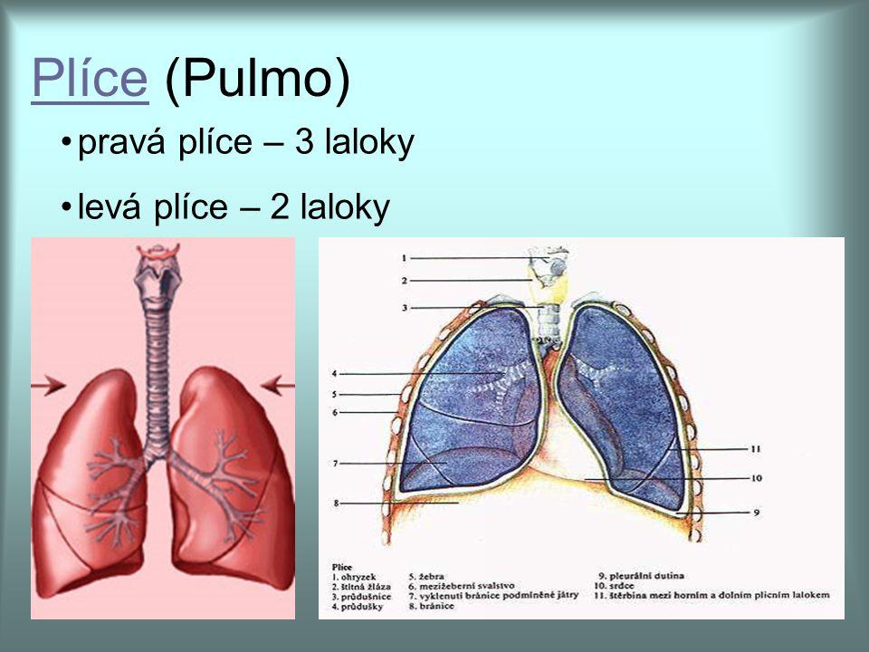 Plíce (Pulmo) pravá plíce – 3 laloky levá plíce – 2 laloky