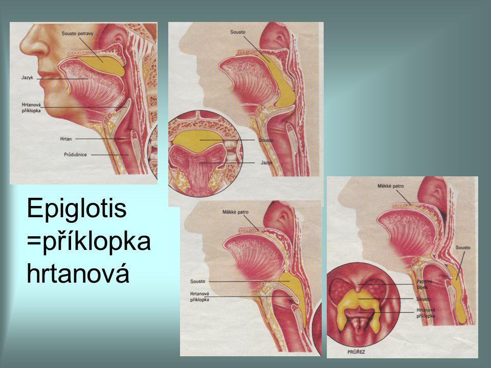 Epiglotis =příklopka hrtanová