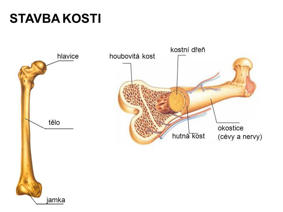 STAVBA KOSTI kostní dřeň hlavice houbovitá kost tělo okostice