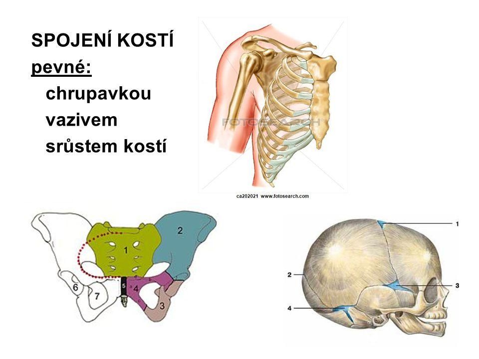 SPOJENÍ KOSTÍ pevné: chrupavkou vazivem srůstem kostí