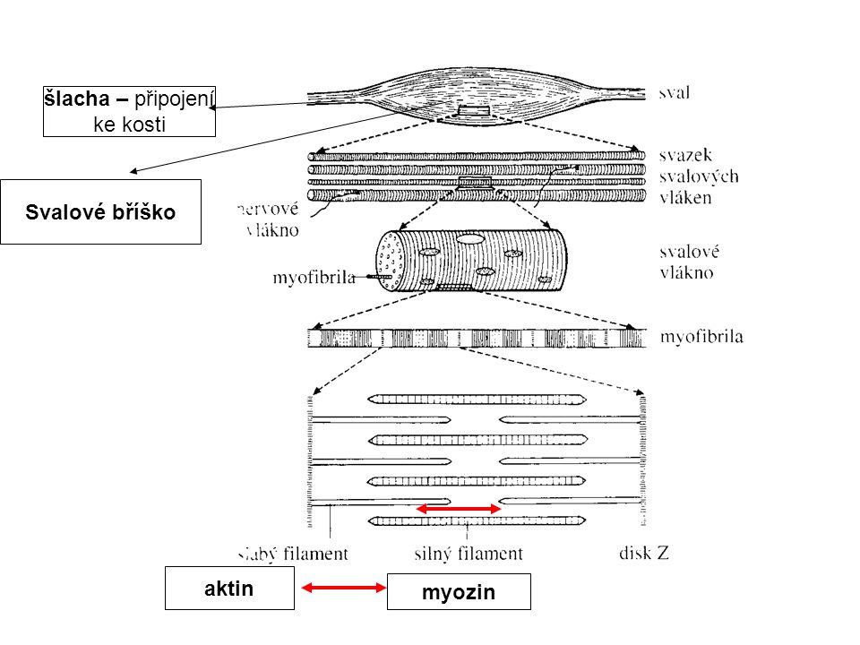 šlacha – připojení ke kosti Svalové bříško aktin myozin