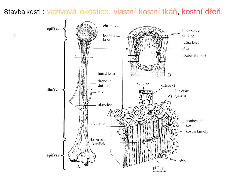 Stavba kosti : vazivová okostice, vlastní kostní tkáň, kostní dřeň.