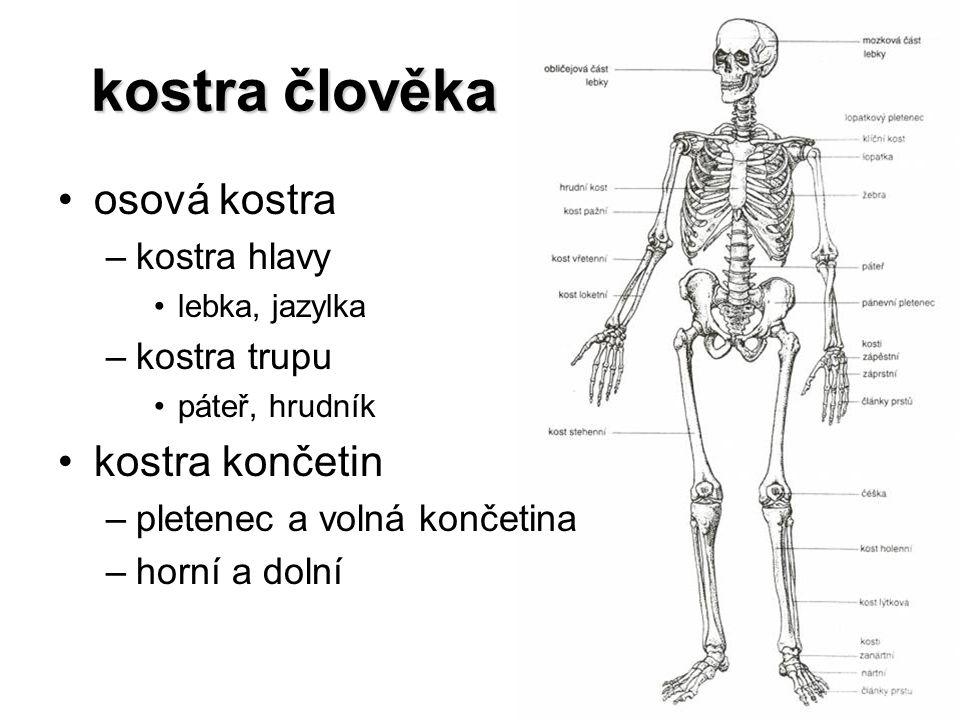kostra člověka osová kostra kostra končetin kostra hlavy kostra trupu
