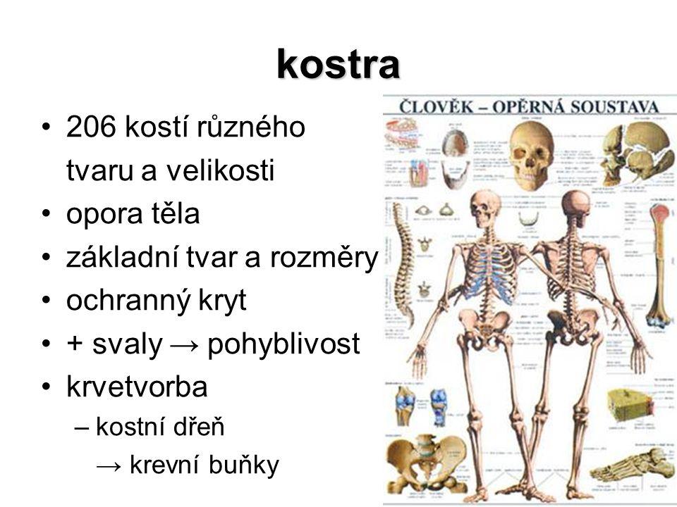 kostra 206 kostí různého tvaru a velikosti opora těla