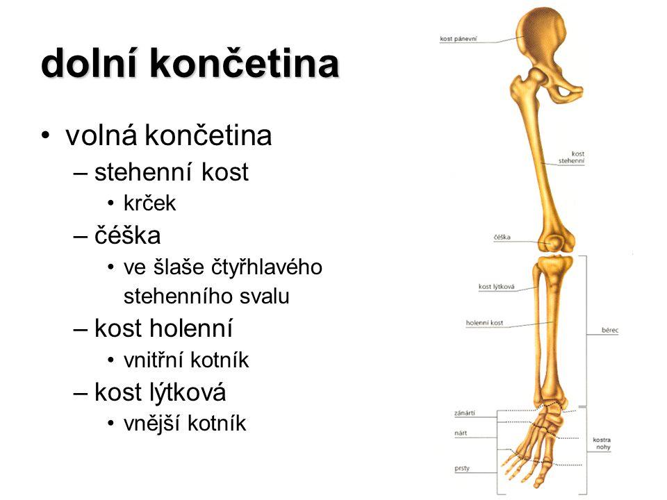dolní končetina volná končetina stehenní kost čéška kost holenní