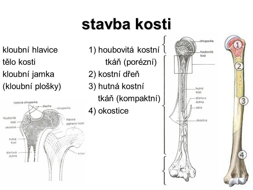 stavba kosti kloubní hlavice tělo kosti kloubní jamka (kloubní plošky)
