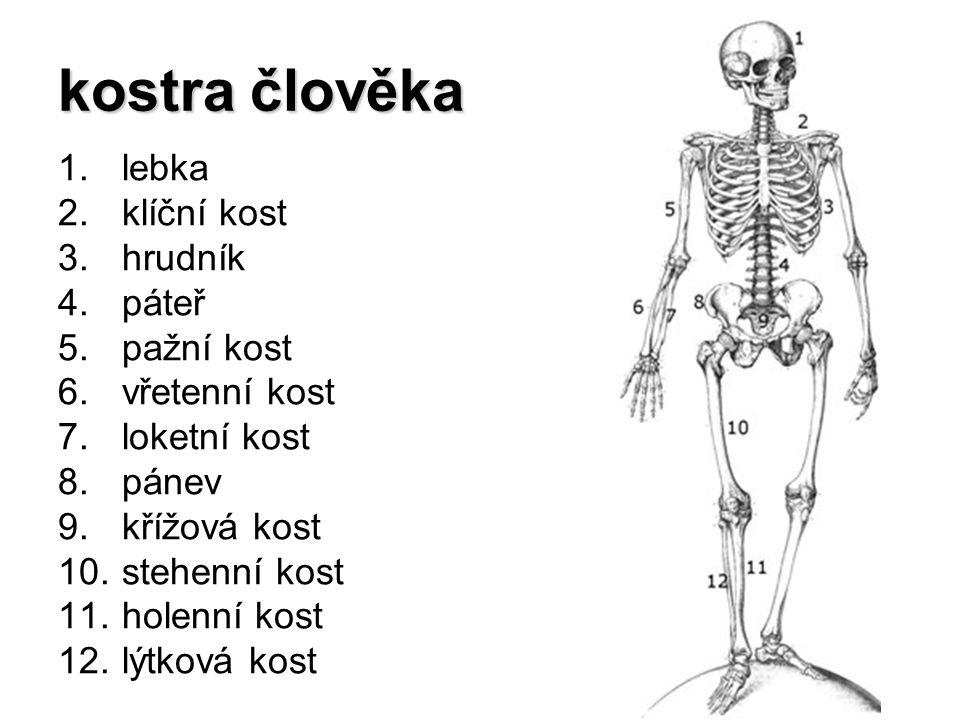 kostra člověka lebka klíční kost hrudník páteř pažní kost