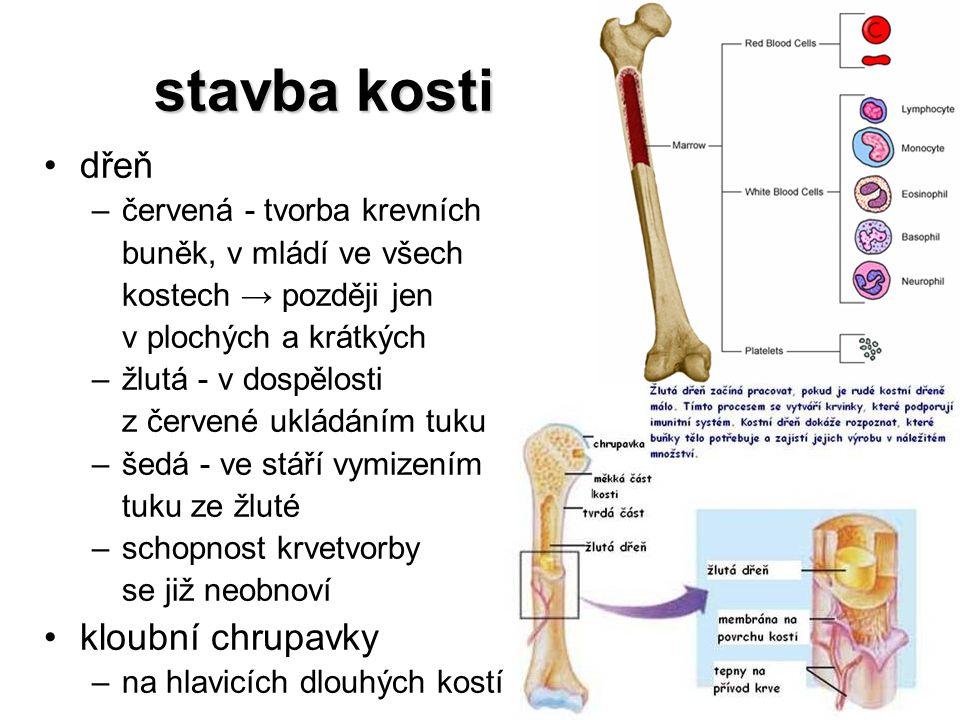 stavba kosti dřeň kloubní chrupavky červená - tvorba krevních