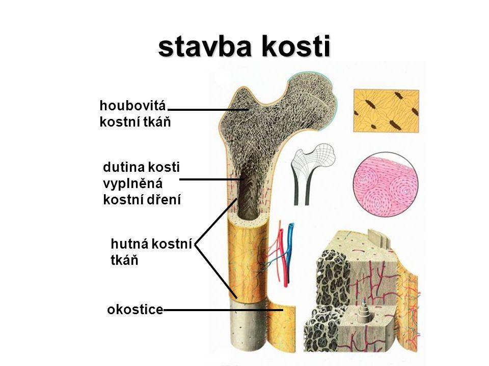 stavba kosti houbovitá kostní tkáň dutina kosti vyplněná kostní dření