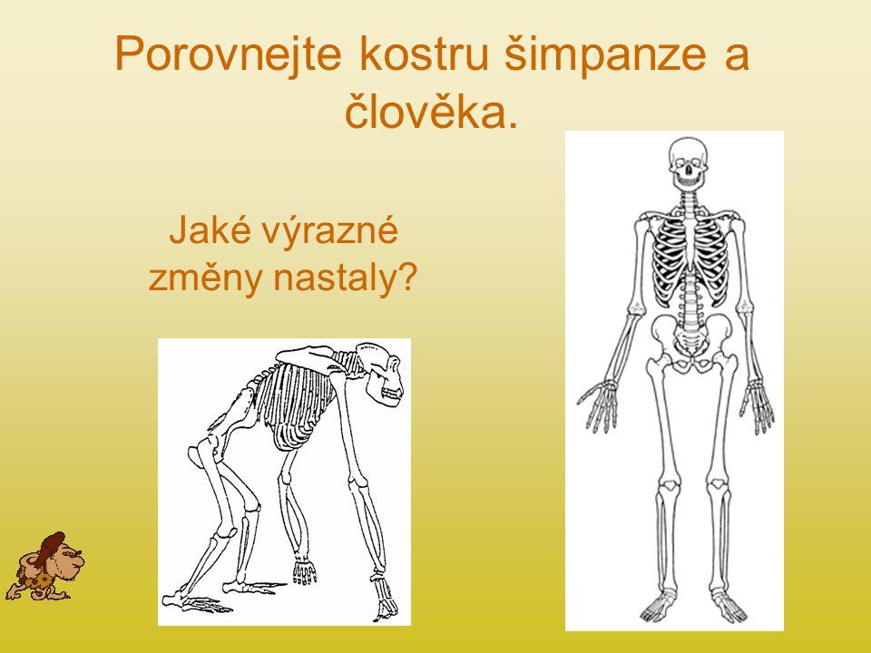 Porovnejte kostru šimpanze a člověka.
