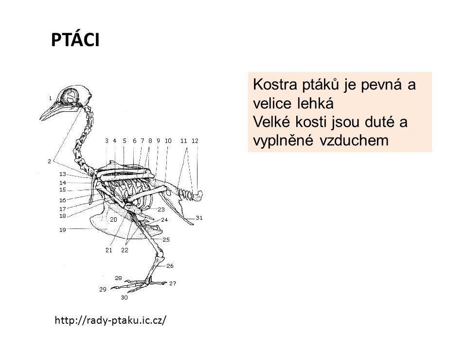 PTÁCI Kostra ptáků je pevná a velice lehká