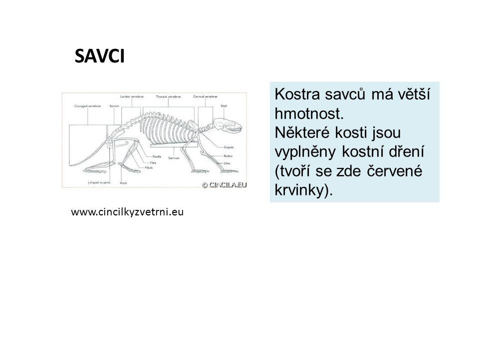 SAVCI Kostra savců má větší hmotnost.