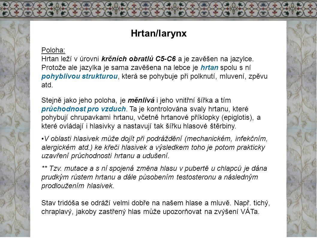 Hrtan/larynx Poloha: