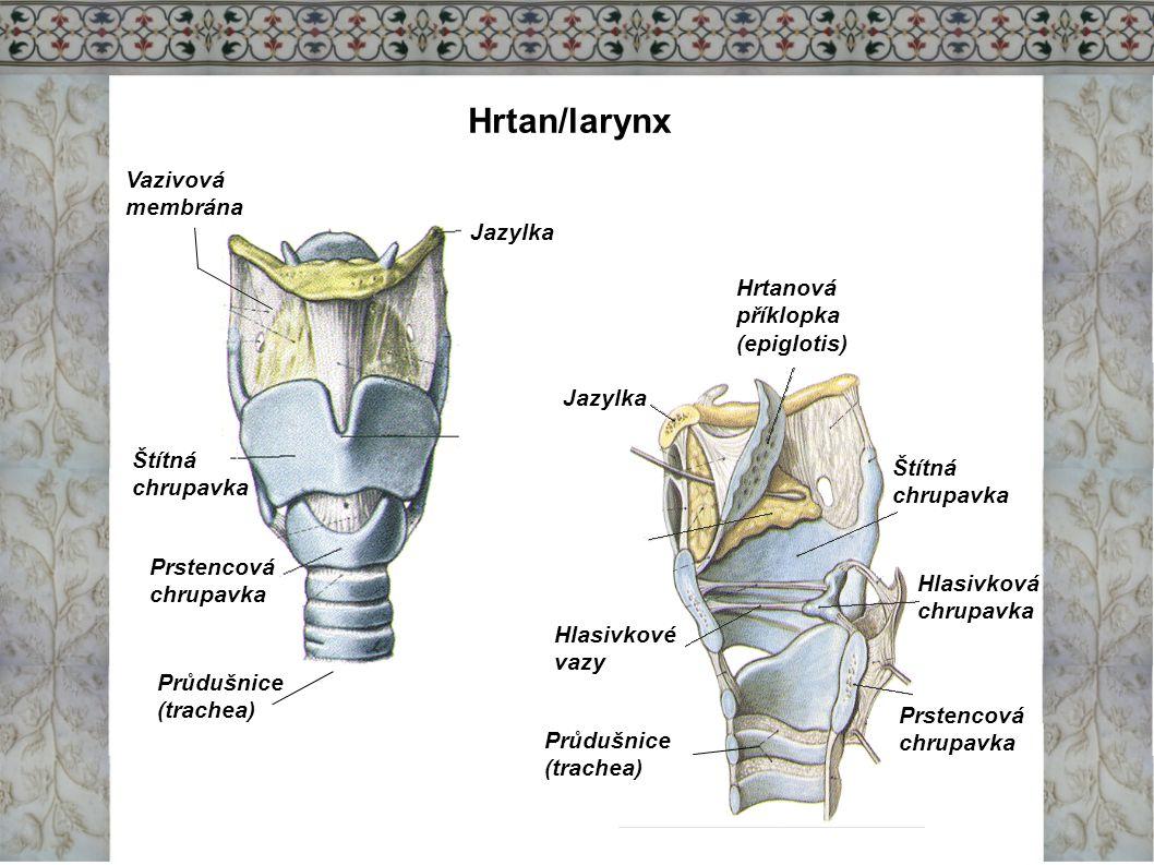 Hrtan/larynx Vazivová membrána Jazylka Hrtanová příklopka (epiglotis)