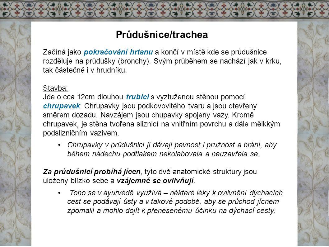 Průdušnice/trachea
