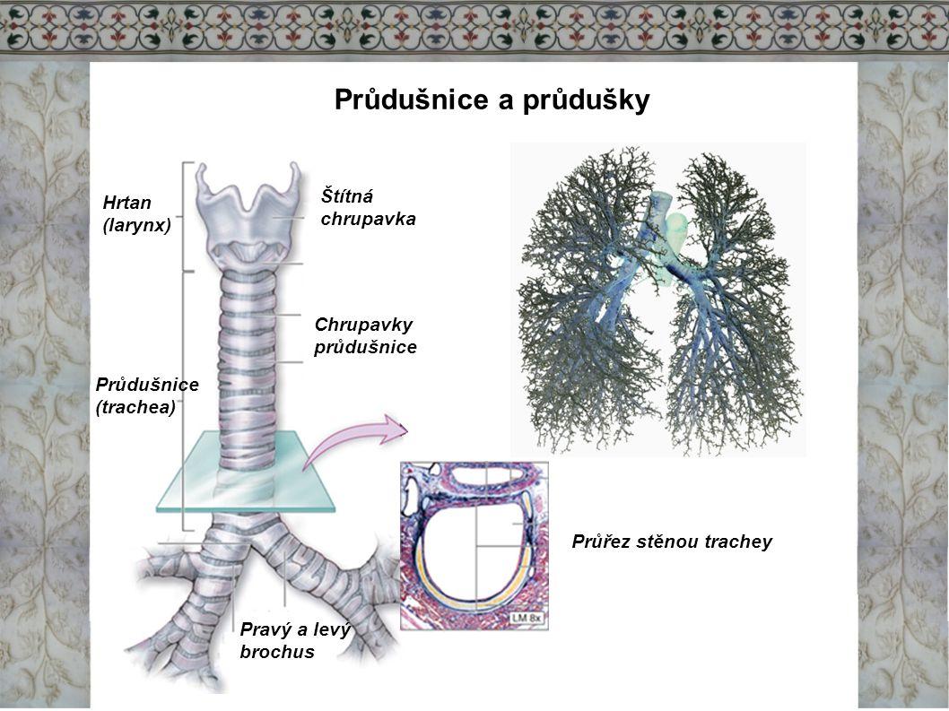 Průdušnice a průdušky Štítná Hrtan chrupavka (larynx) Chrupavky