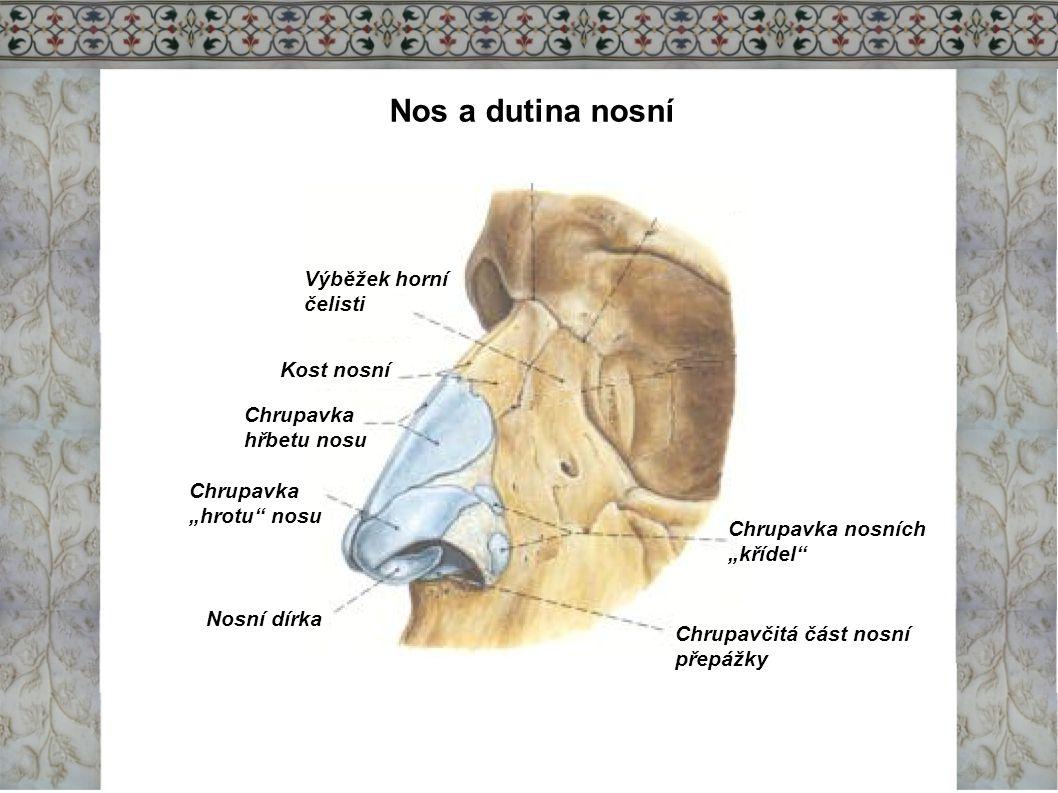 Nos a dutina nosní Výběžek horní čelisti Kost nosní Chrupavka