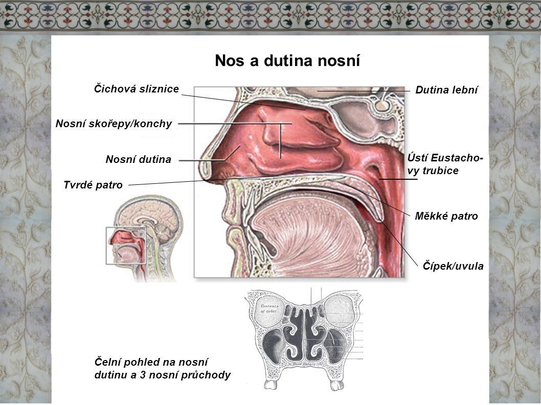 Nos a dutina nosní Čichová sliznice Dutina lební Nosní skořepy/konchy