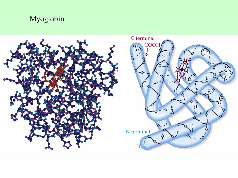 Myoglobin