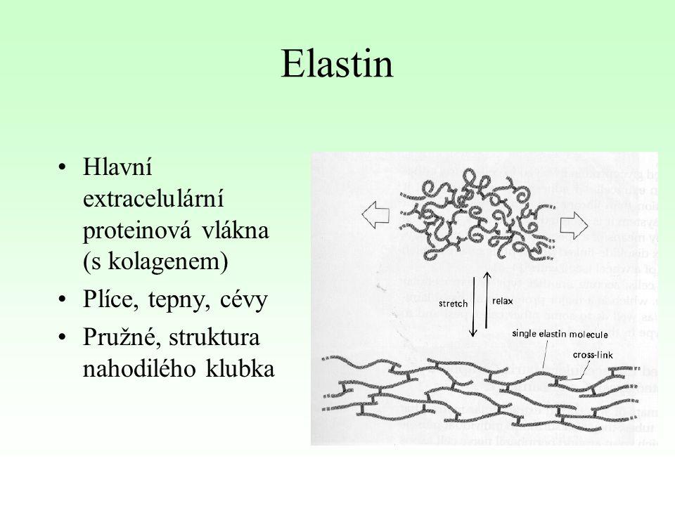 Elastin Hlavní extracelulární proteinová vlákna (s kolagenem)