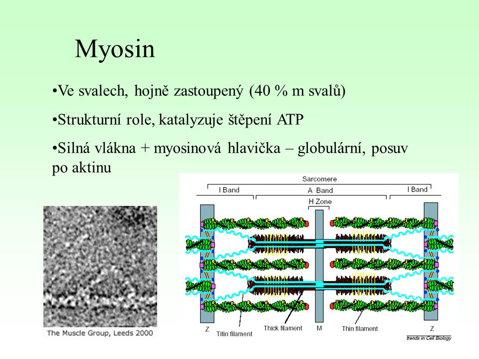 Myosin Ve svalech, hojně zastoupený (40 % m svalů)