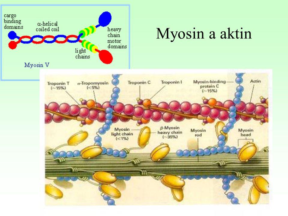 Myosin a aktin