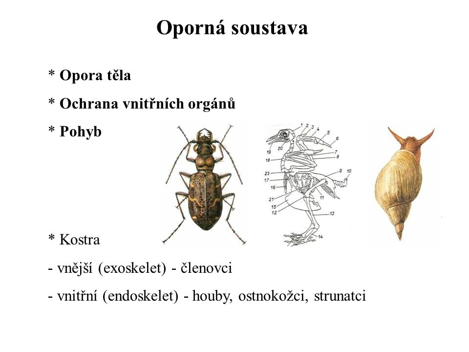 Oporná soustava Opora těla Ochrana vnitřních orgánů Pohyb Kostra