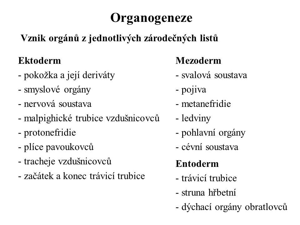 Organogeneze Vznik orgánů z jednotlivých zárodečných listů Ektoderm