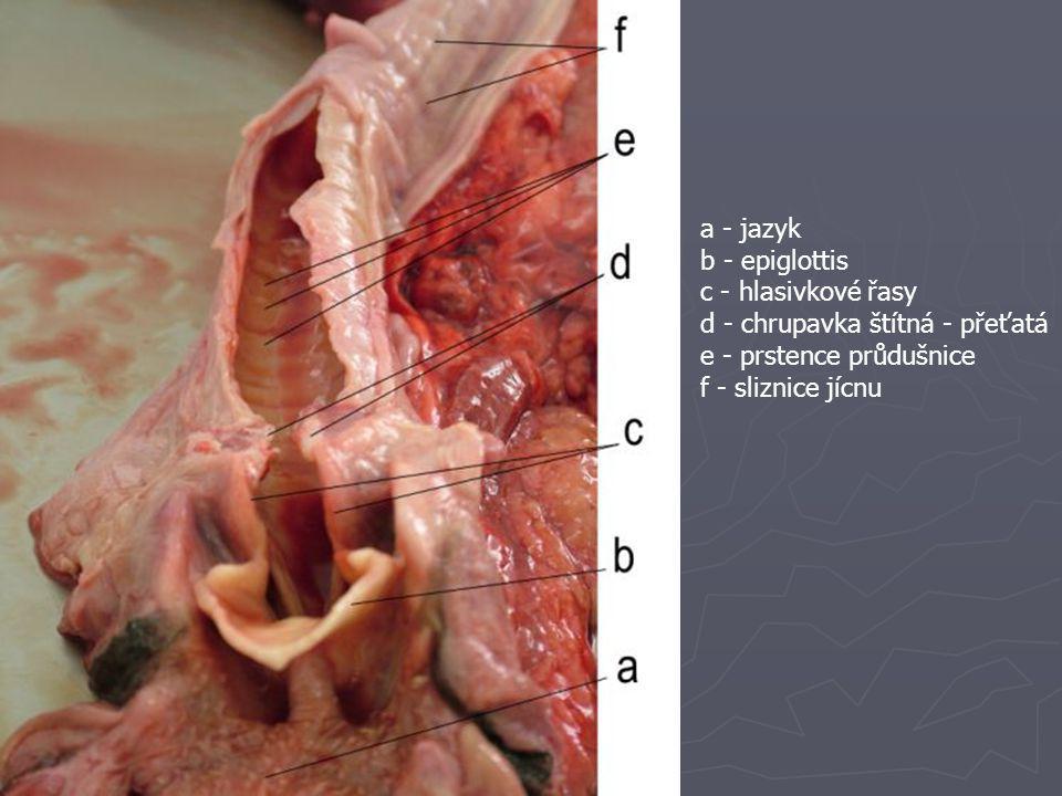 a - jazyk b - epiglottis. c - hlasivkové řasy. d - chrupavka štítná - přeťatá. e - prstence průdušnice.